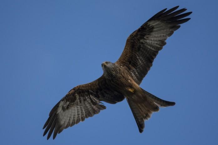 030 Rhayader Red Kites Flyingsmall
